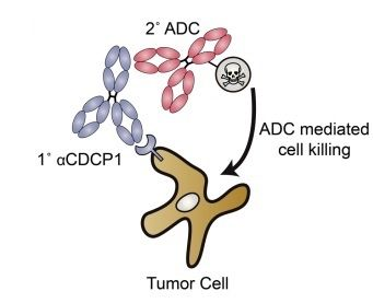 Schematic of antibodies delivering cancer therapies to a tumor cell