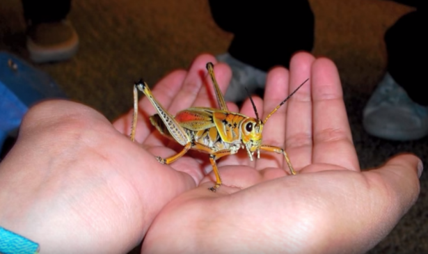 student holds large grasshopper