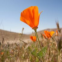 a California poppy
