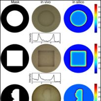 comparisons of petri dishes in mask, in vivo, and in silico states
