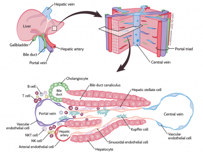 structural diagram of liver tissue